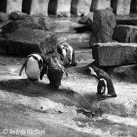penguins at the nuremberg zoo